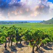 Vignes-Languedoc.jpg